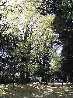 新宿御苑のイチョウ並木