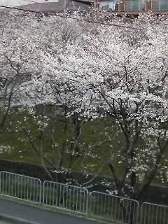 長沢川、ようやく見ごろ